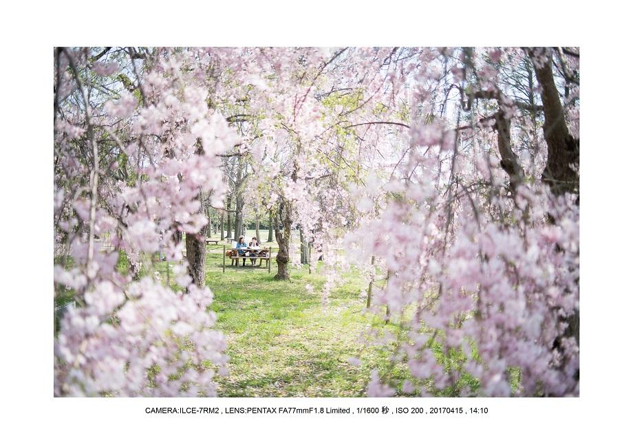 0415長居植物園枝垂桜満開見頃0.jpg