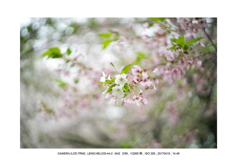 0415長居植物園枝垂桜満開見頃16.jpg