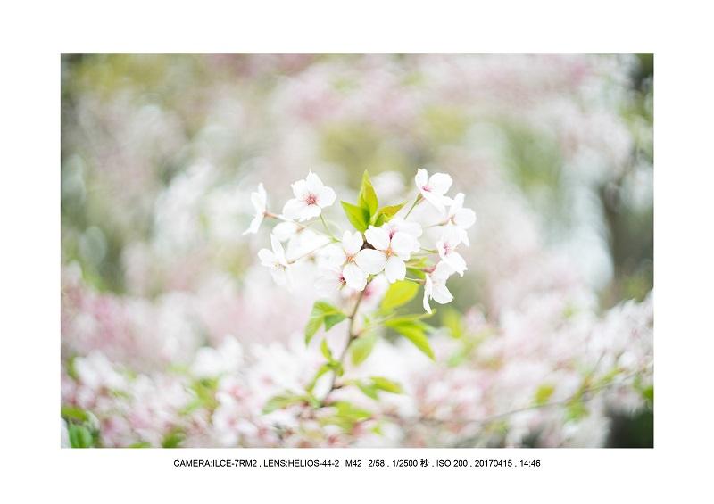 0415長居植物園枝垂桜満開見頃17.jpg