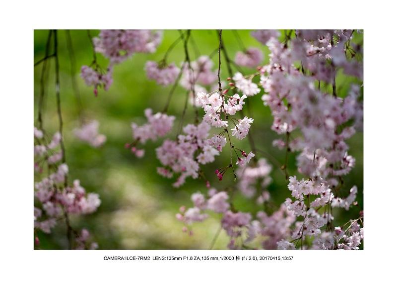 0415長居植物園枝垂桜満開見頃2.jpg