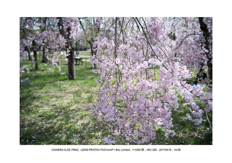 0415長居植物園枝垂桜満開見頃4.jpg