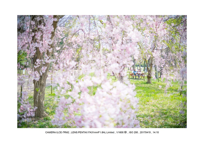 0415長居植物園枝垂桜満開見頃5.jpg