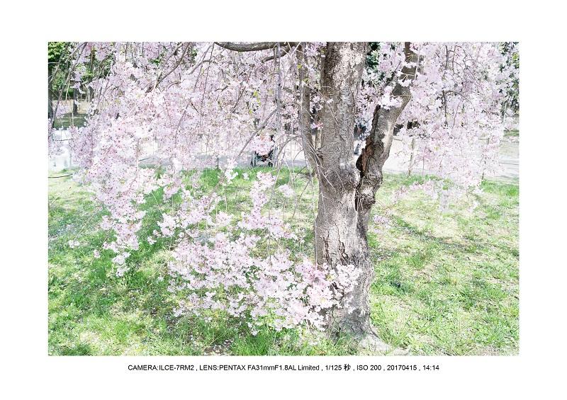 0415長居植物園枝垂桜満開見頃6.jpg