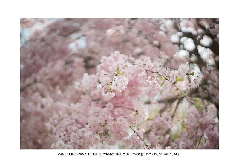0415長居植物園枝垂桜満開見頃7.jpg
