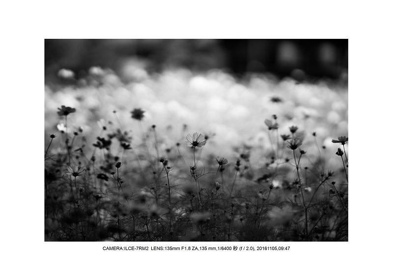 20161105長い植物園コスモス1.jpg