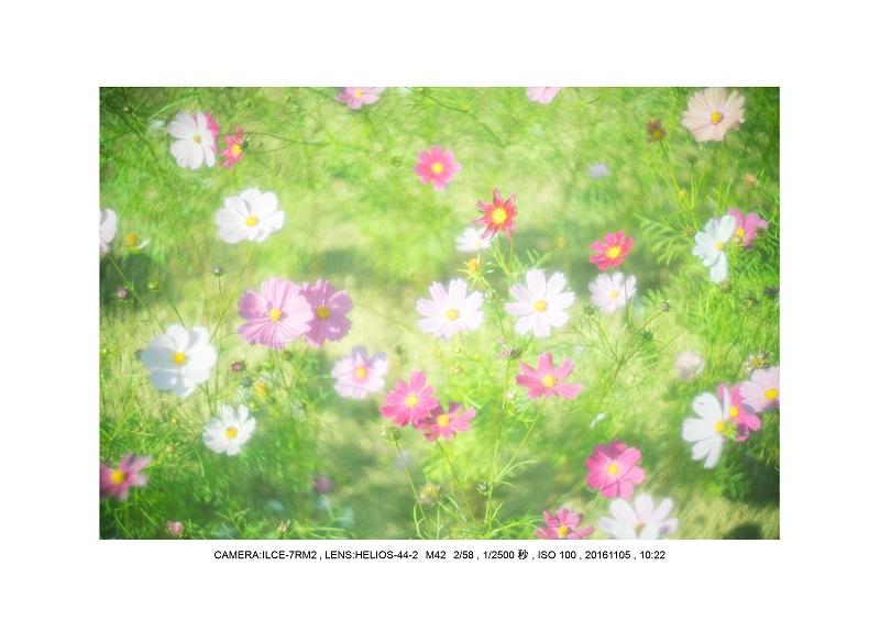 20161105長い植物園コスモス9.jpg