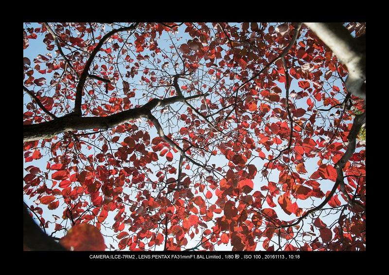 20161113長居植物園の紅葉4.jpg