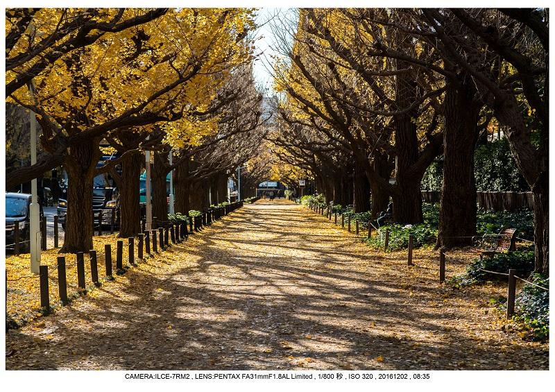 20161202神宮外苑 銀杏並木 絶景 見頃39.jpg