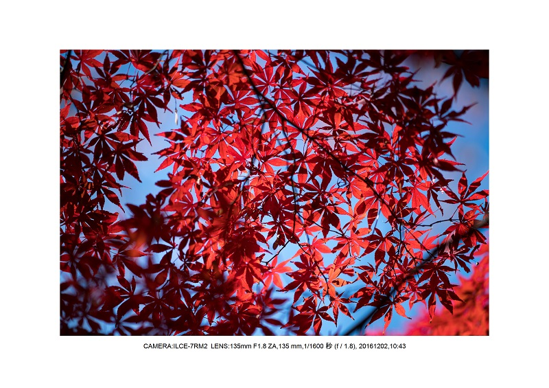 20161202神宮外苑 銀杏並木 絶景 見頃64.jpg