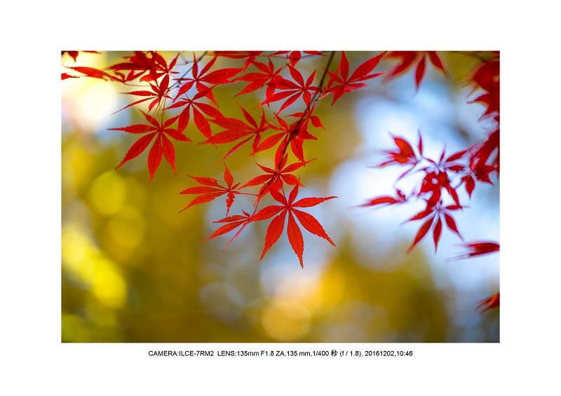 20161202神宮外苑 銀杏並木 絶景 見頃65.jpg
