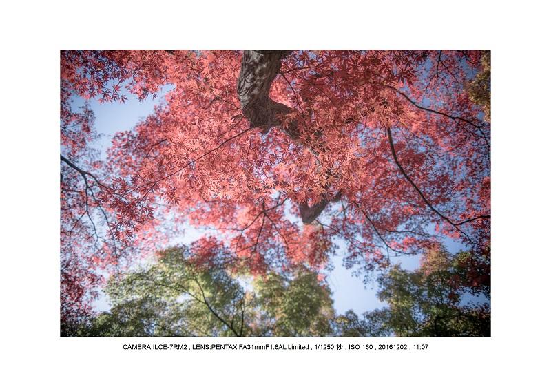 20161202神宮外苑 銀杏並木 絶景 見頃67.jpg
