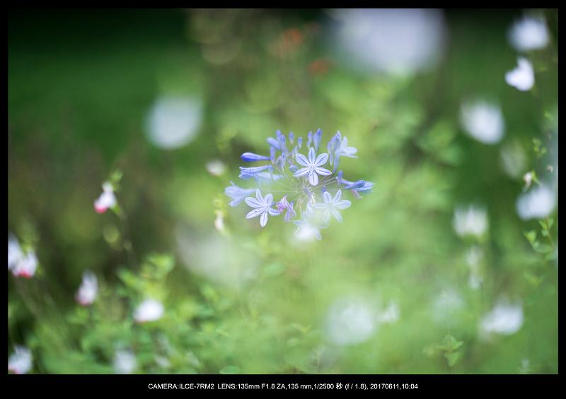 アジサイ紫陽花見頃の長居植物園2.png
