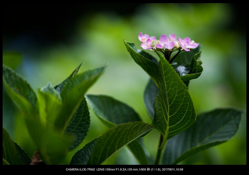 アジサイ紫陽花見頃の長居植物園7.png