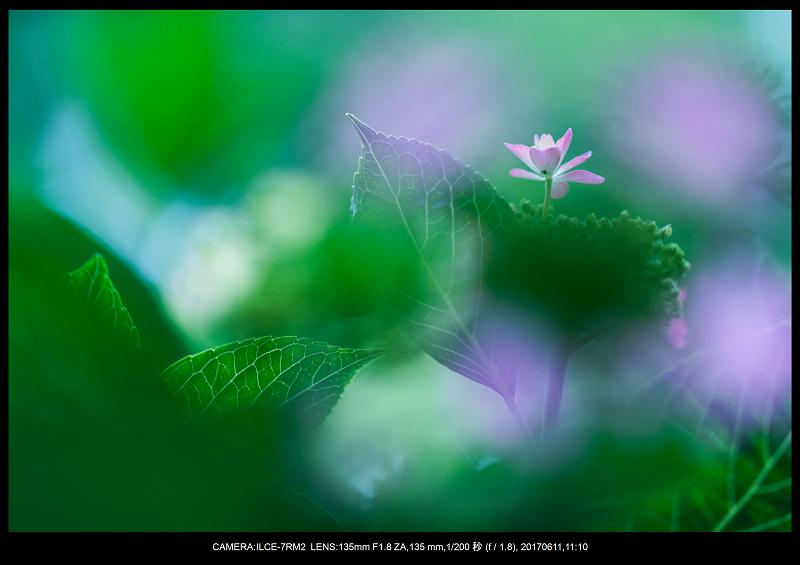 アジサイ紫陽花見頃の長居植物園9.png