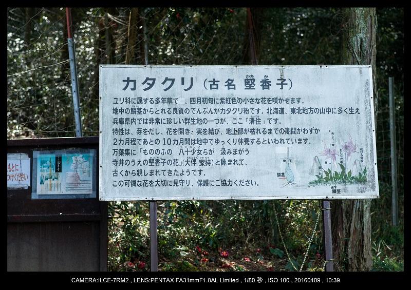 兵庫・丹波市・氷上・清住のカタクリ_1.jpg