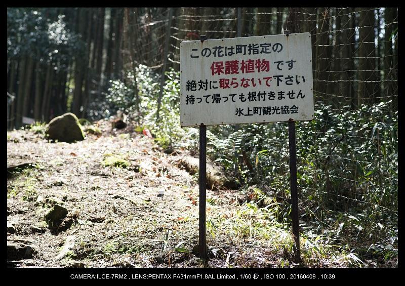 兵庫・丹波市・氷上・清住のカタクリ_2.jpg