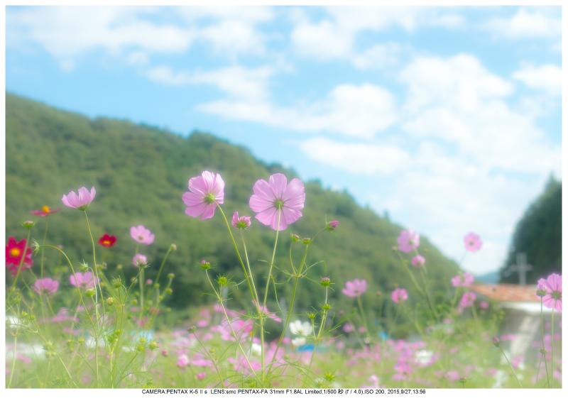 大阪・とよのコスモスの里13.jpg