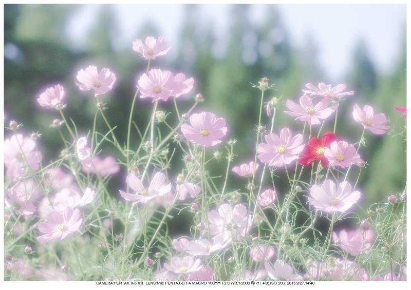 大阪・とよのコスモスの里27.jpg