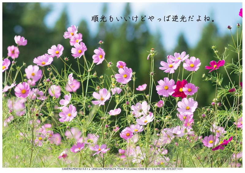 大阪・とよのコスモスの里30.jpg