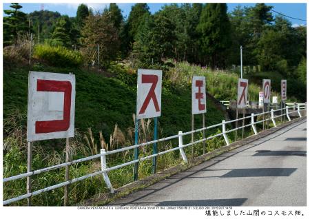 大阪・とよのコスモスの里32.jpg