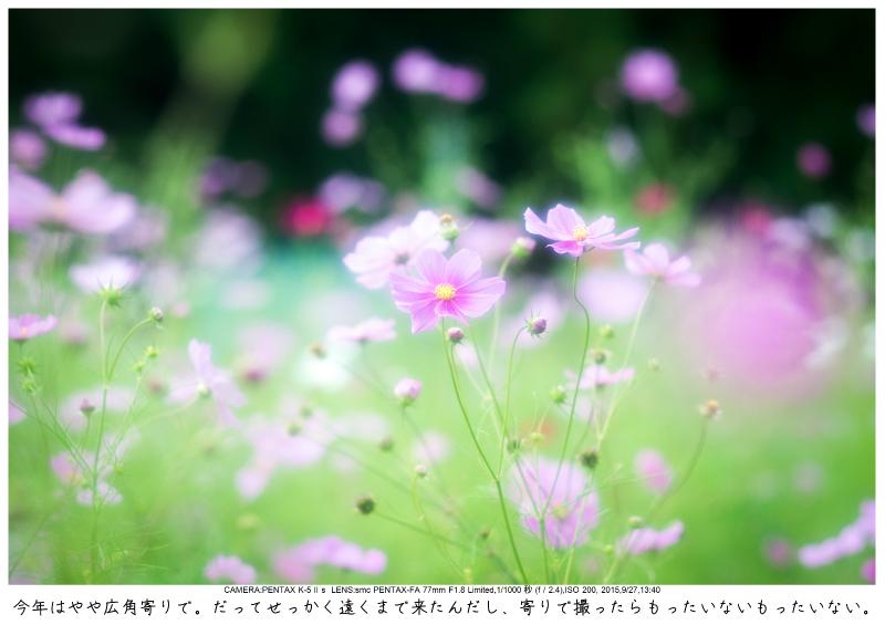 大阪・とよのコスモスの里6.jpg