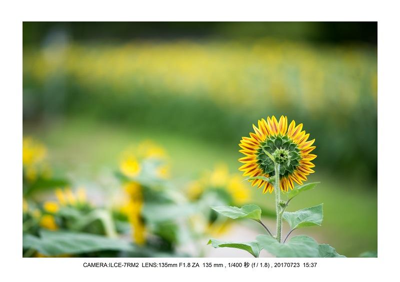 大阪絶景長居植物園ひまわり向日葵見頃2.jpg