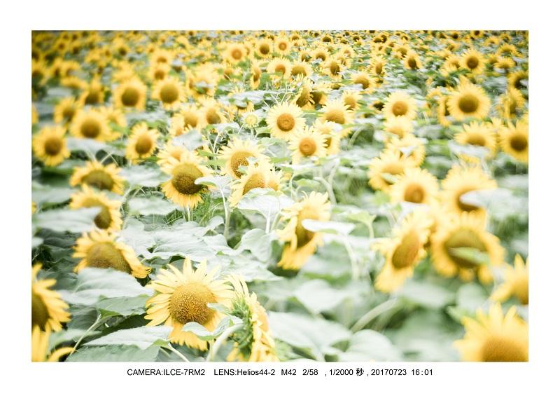 大阪絶景長居植物園ひまわり向日葵見頃4.jpg