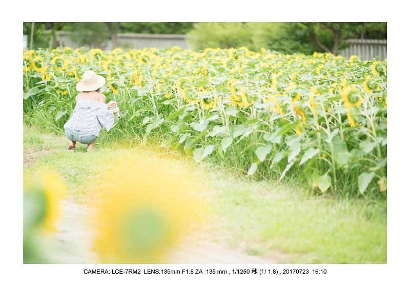大阪絶景長居植物園ひまわり向日葵見頃5.jpg