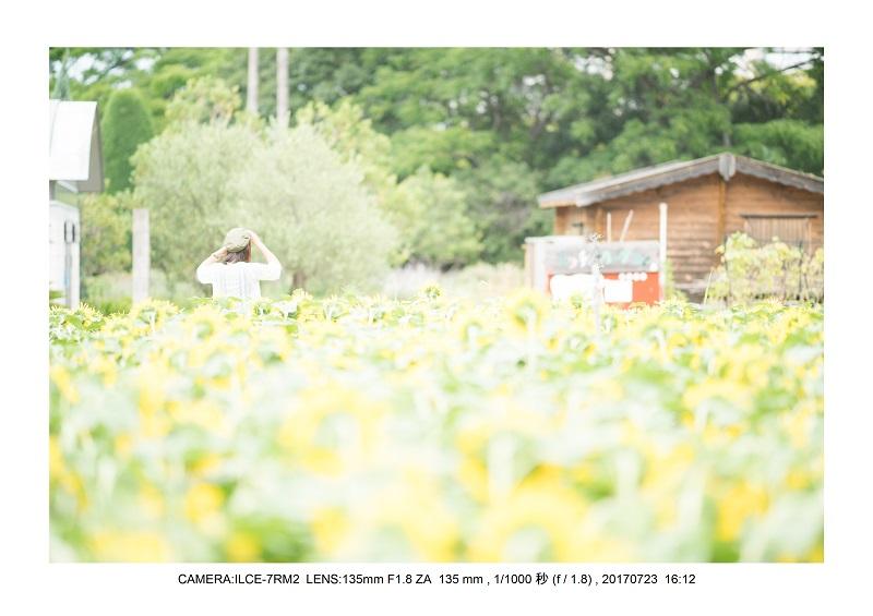 大阪絶景長居植物園ひまわり向日葵見頃6.jpg