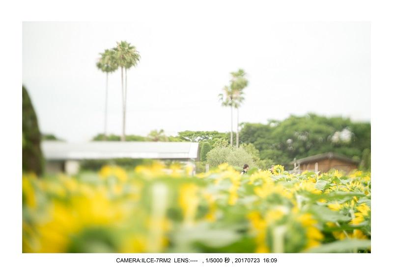 大阪絶景長居植物園ひまわり向日葵見頃8.jpg