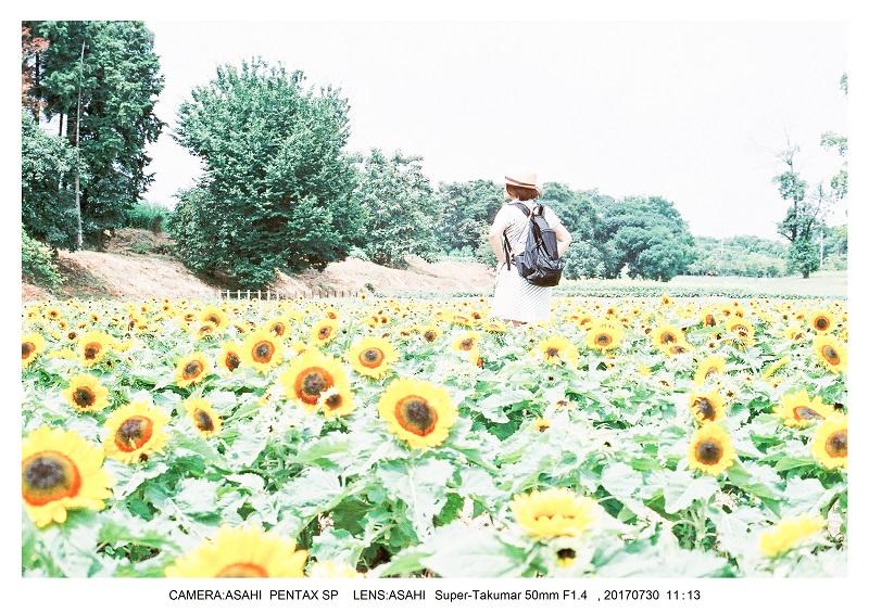 奈良の絶景・馬見丘陵公園向日葵ひまわり見頃2-0PENTAXSP フィルムカメラ・オールドレンズ.jpg