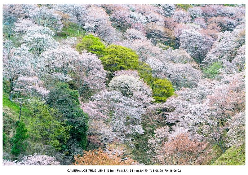 奈良の絶景風景・吉野山の桜見頃満開(下千本・中千本・上千本)旅行記画像10.jpg