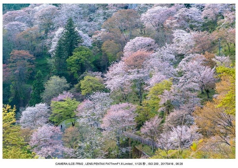 奈良の絶景風景・吉野山の桜見頃満開(下千本・中千本・上千本)旅行記画像14.jpg