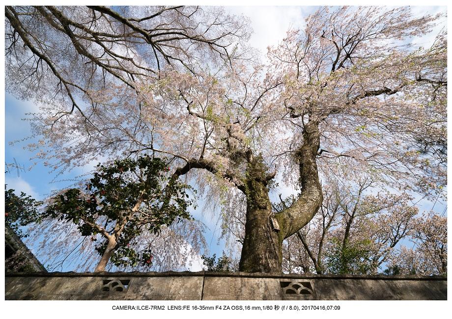 奈良の絶景風景・吉野山の桜見頃満開(下千本・中千本・上千本)旅行記画像32.jpg