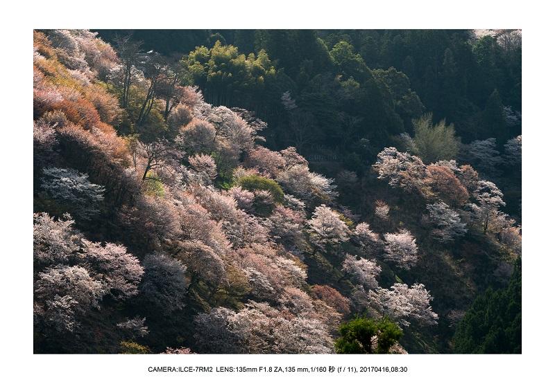奈良の絶景風景・吉野山の桜見頃満開(下千本・中千本・上千本)旅行記画像49.jpg