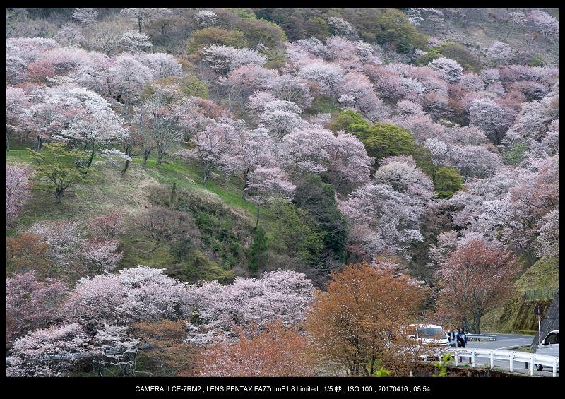 奈良の絶景風景・吉野山の桜見頃満開(下千本・中千本・上千本)旅行記画像7.jpg