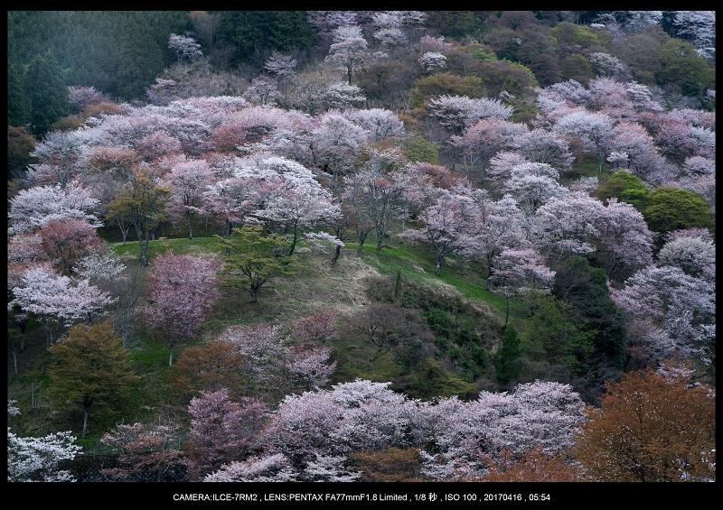 奈良の絶景風景・吉野山の桜見頃満開(下千本・中千本・上千本)旅行記画像8.jpg