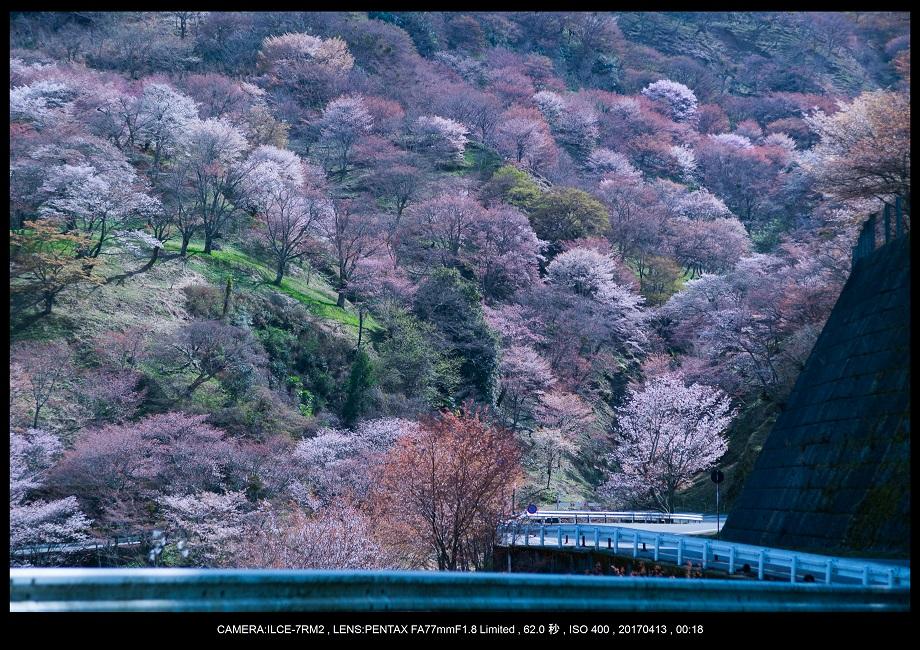 奈良・吉野山の桜さくら見頃満開0.jpg