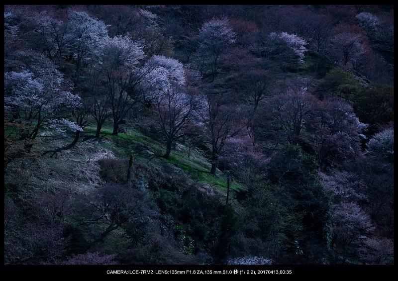 奈良・吉野山の桜さくら見頃満開4.jpg