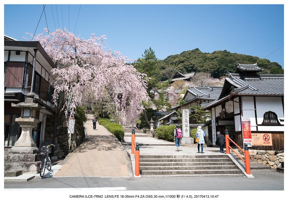奈良・桜満開の長谷寺な旅行記・画像0.jpg