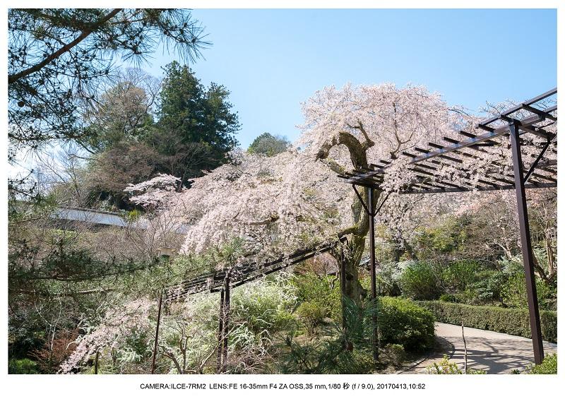 奈良・桜満開の長谷寺な旅行記・画像2.jpg