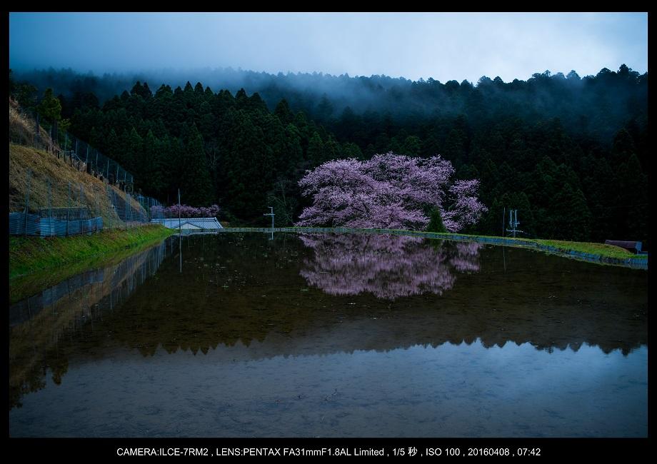 奈良・諸木野の桜_0.jpg