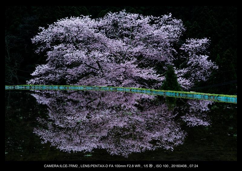 奈良・諸木野の桜_1-1.jpg