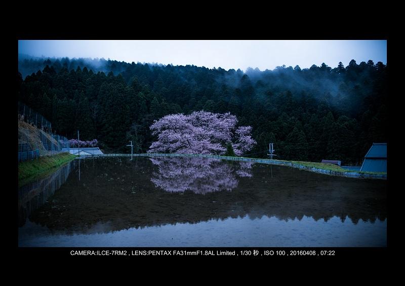 奈良・諸木野の桜_1.jpg