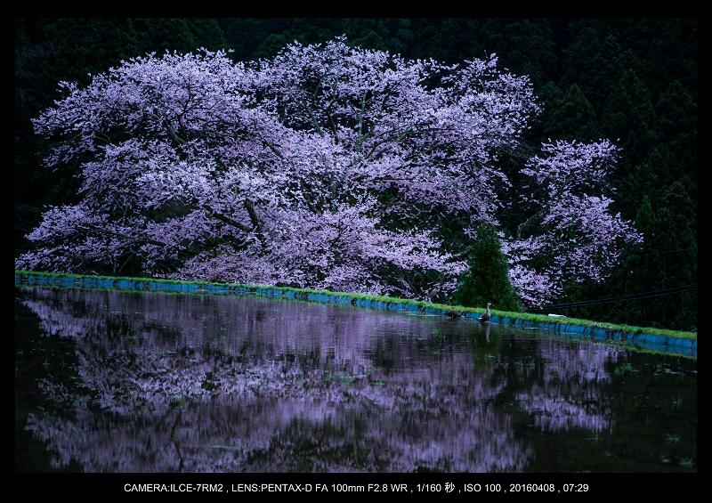 奈良・諸木野の桜_2.jpg