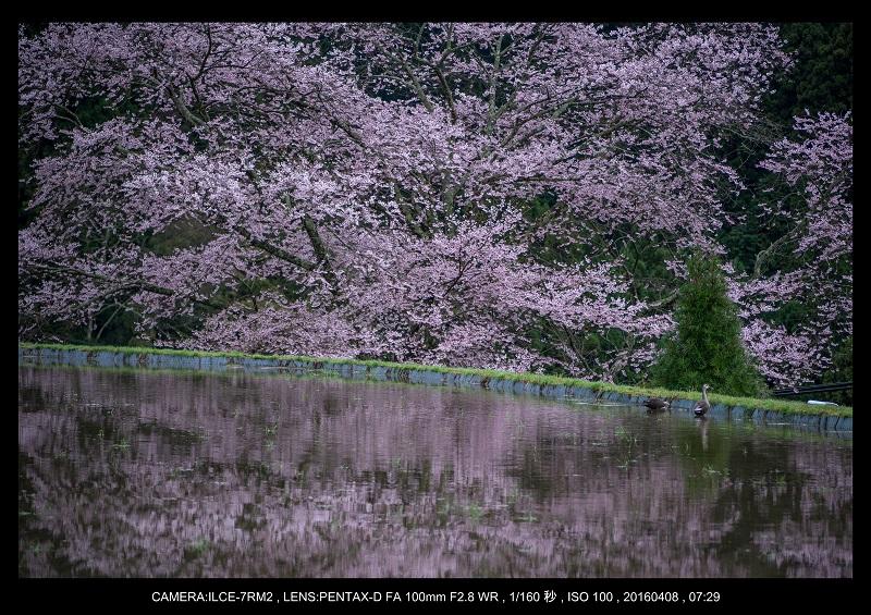奈良・諸木野の桜_3.jpg