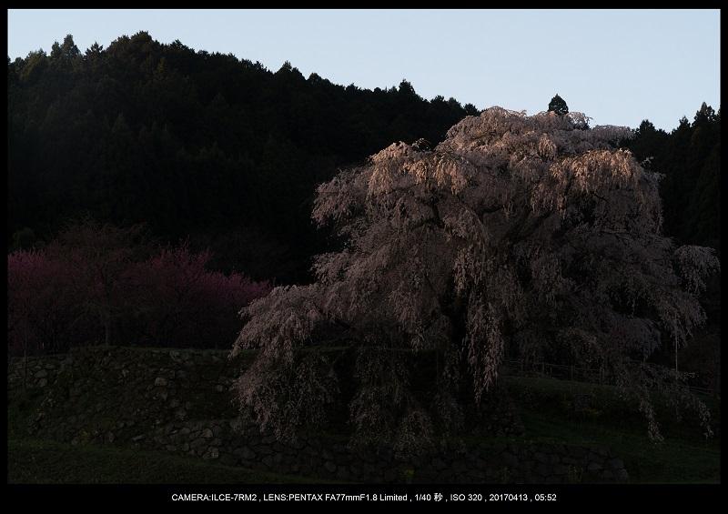 奈良宇陀市・又兵衛桜(本郷の瀧桜)朝景6.jpg