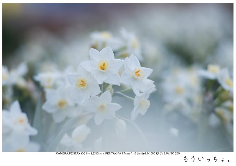 小湊鉄道_菜の花写真10.jpg