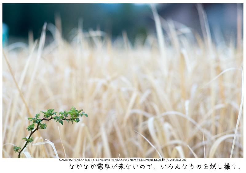 小湊鉄道_菜の花写真11.jpg