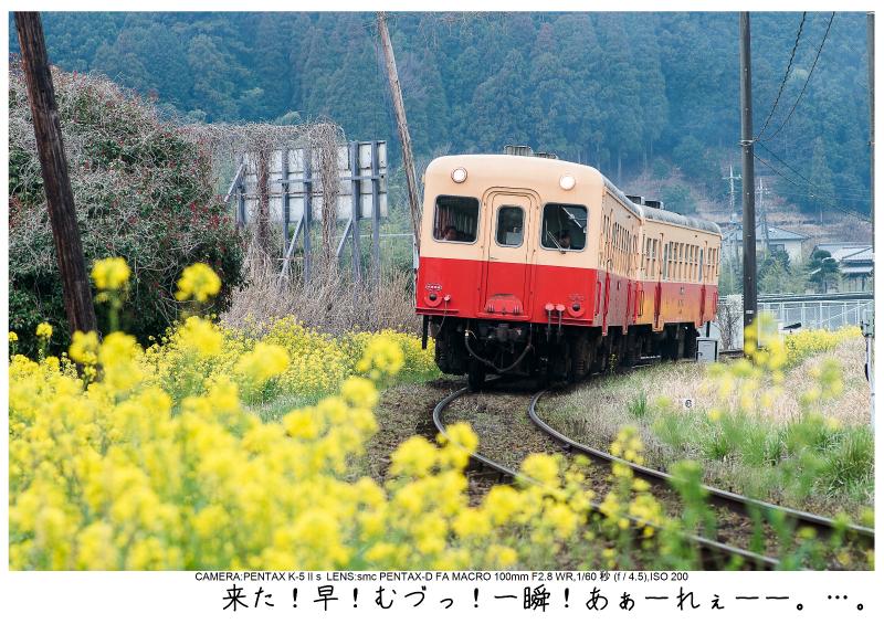 小湊鉄道_菜の花写真12.jpg